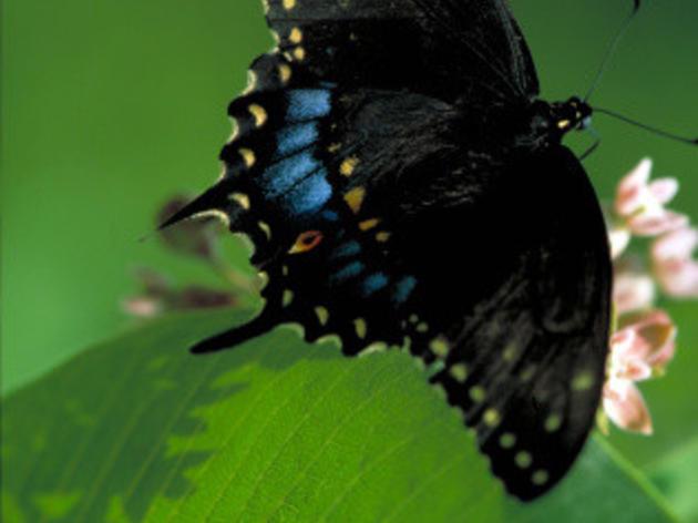 Butterflies of the Bent